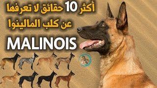 أكثر 10 حقائق لا تعرفها عن كلب المالينوا | Malinois dog