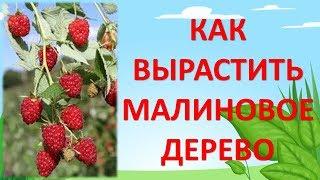 Формирование малинового дерева/Как увеличить урожай малины/Летняя обрезка малины(Формирование малинового дерева. Как сделать органическое безопасное супер удобрение смотрите тут https://youtu.b..., 2015-06-29T10:09:06.000Z)