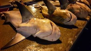 Great Sharks from Oman at Dubai Fish Market أسماك قرش عُمانية ضخمة في سوق السمك في دُبي