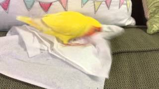 Lovebird loves tissues!