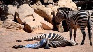 Repeat youtube video Nacimiento de una cebra en Bioparc Valencia