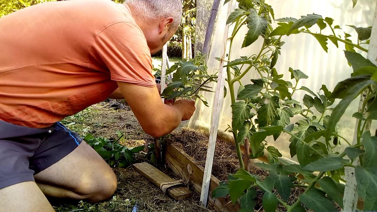 Planter Des Tomates En Pot comment entretenir et tailler un pied de tomate en pot ou au jardin (  débutant)