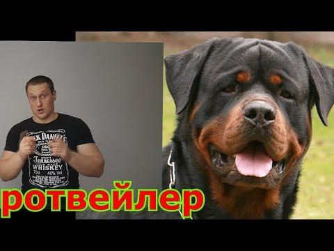 ротвейлер самая сильная и неуправляемая собака в мире