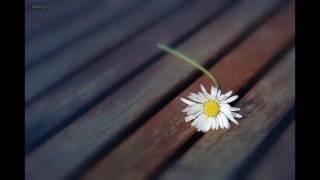 Hoa Cúc Dại ( Sáo )