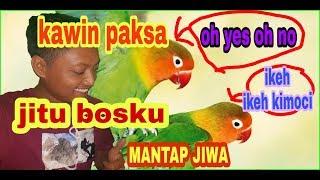 Video RAHASIA KAWIN PAKSA JITU untuk lovebird download MP3, 3GP, MP4, WEBM, AVI, FLV Juli 2018
