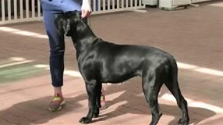 Кане-Корсо. Выставка собак. Черное море. Одесса. Одесская весна. Ривьера. Собаководы. Любим животных