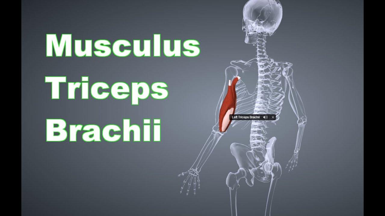 M Triceps Brachii Trizeps Ansatz Ursprung Funktion Dehnung B