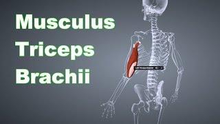 M. Triceps Brachii Trizeps: Ansatz, Ursprung, Funktion, Dehnung B-Lizenz Prüfungsstoff