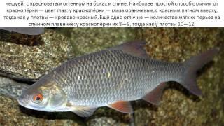Фото и описание рыбы Плотва