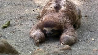 """Телеканал """"Домашние животные"""" - Коста Рика, приют ленивцев"""