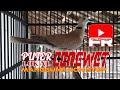 Burung Puter Lokal Kugeru Gacor Abis Pancingan Burung Puter Lain Biar Bunyi  Mp3 - Mp4 Download
