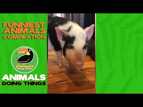TOP 8 Cute Cat, Dog & Pig Videos | Funniest Animals Doing Things