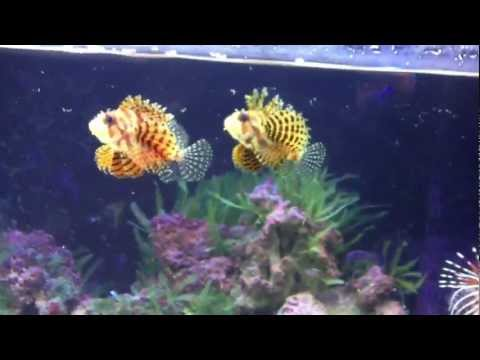 Lions, Scorps And Waspfish @ Lionfish Lair