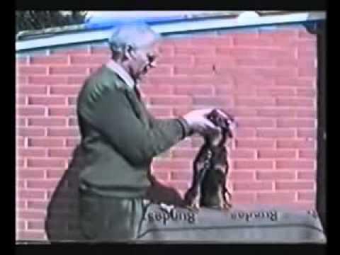 Deutscher Jagdterrier(hunting dog training)