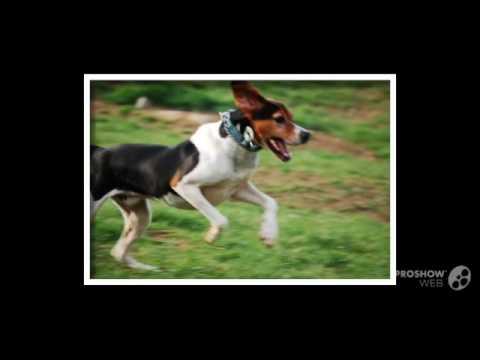 Английский фоксхаунд порода собак