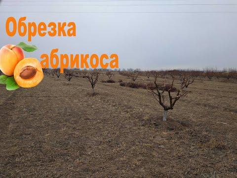 Обрезка абрикоса, 4 года
