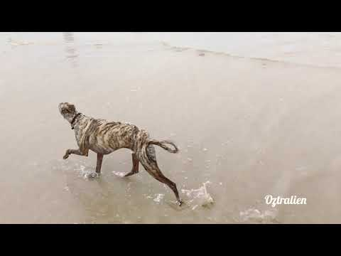 Whippet loves running on the beach and in the water - Roscoe the whippet