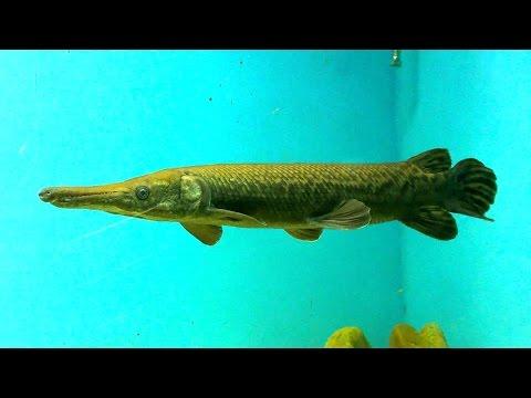 Predator fish tank feeding juwel 240 chitala chitala and for Freshwater gar fish