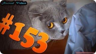 Приколы с животными №153   Кот виноват  Смешные животные  Animal videos
