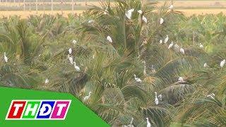 Đồng Tháp: Đàn cò bay về vườn nhà dân trú ngụ | THDT