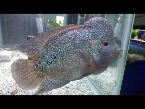 Amazing Fish! Breeder Fish! Angry Fish!