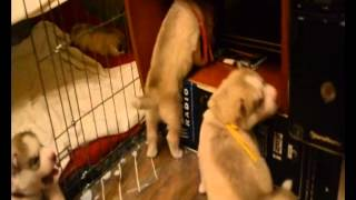 GP-Puppies play.wmv