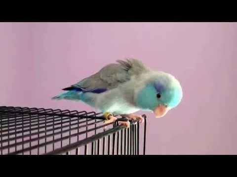 Little Pacific Parrotlet