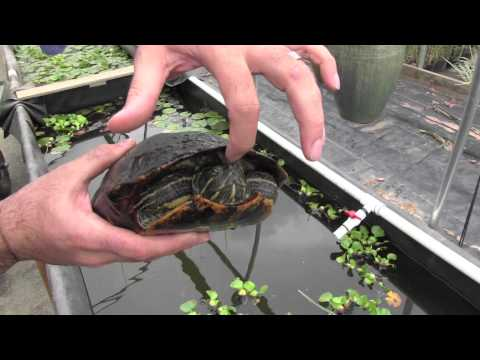 Red Eared Sliders: What You Need To Know