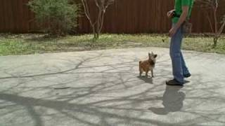 Shiba Inu Dog Training | Redeeming Dogs | Tod Mcvicker - Dallas Dog Training