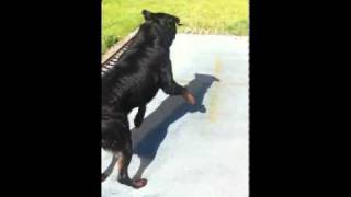 Fonzy Cachia The Trampoline Jumping Rottweiler