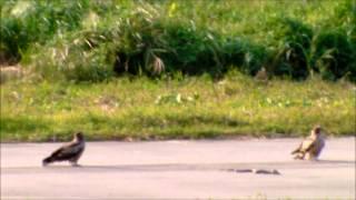 ラジコン飛行場の滑走路上で鳶と蛇が一触即発状態、蛇は固まっていて、...