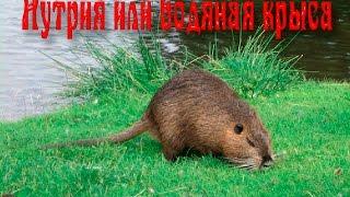 Нутрия или водяная крыса.Мир животных.