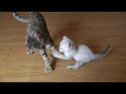 A Rare Exotic Small Lynx Kitten Fights big Cats
