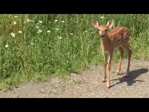 Bambi siting! Baby deer comes over for a visit