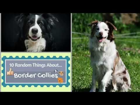 10 Random Things About...Border Collies