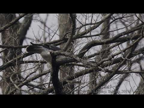 ハヤブサ B地点 3月上旬 野鳥FHD 空屋根FILMS#883