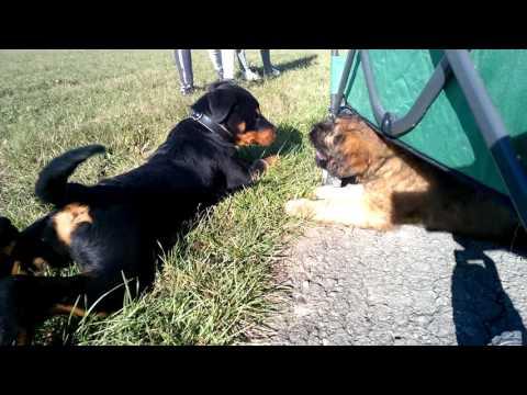 Rottweiler & Briard Puppies