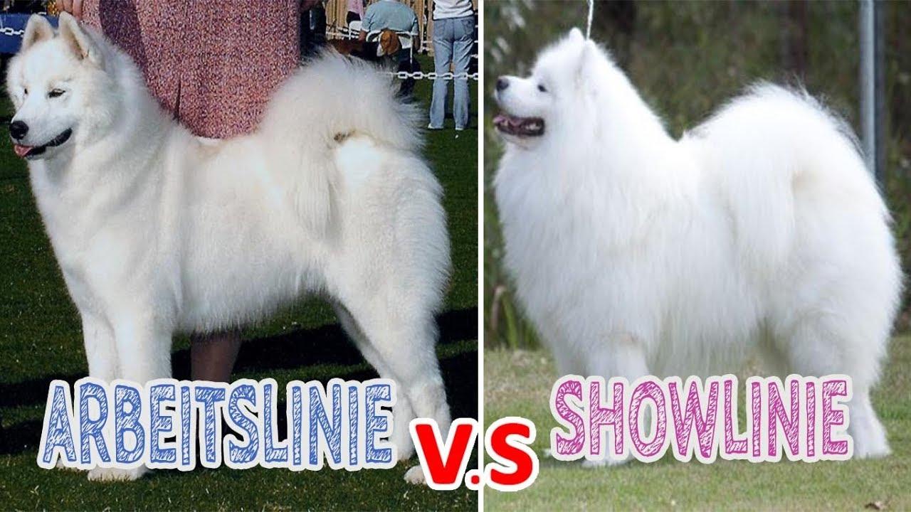 Showlinie Vs Leistungslinie Beim Hund Unterschiede In Der Zuchtrichtung Von Hunderassen Youtube