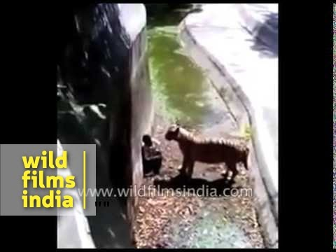 The infamous Delhi Zoo Tiger attack!