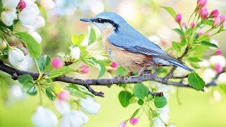 "Peaceful music, Relaxing music, Instrumental music ""Birds of Spring"" by Tim Janis"
