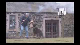 German Shepherd Attack Dog Training. (ignoring Shot Gun Fire).