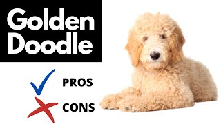 Goldendoodle Pros And Cons | The Good AND The Bad!!