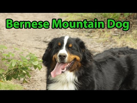 The Right Companion: Bernese Mountain Dog