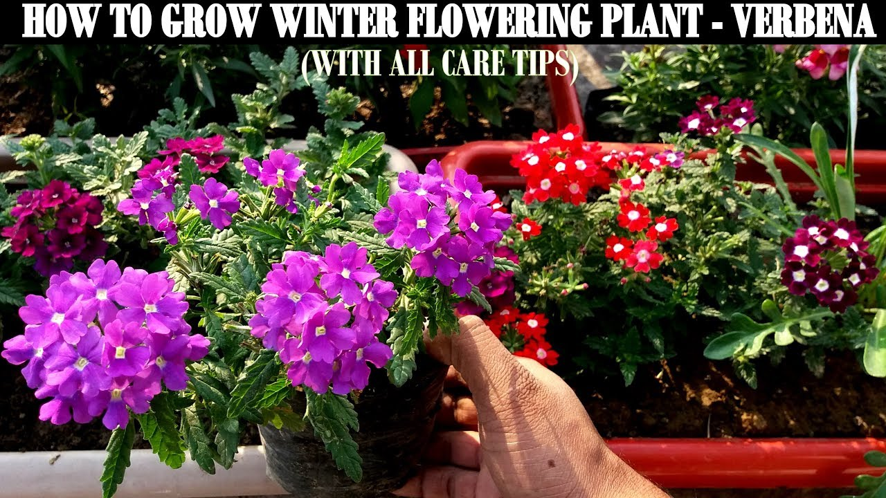 How to grow flower plants at home verbena youtube how to grow flower plants at home verbena izmirmasajfo