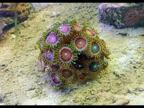 no sand bed pros healthy corals saltwater tank youtube