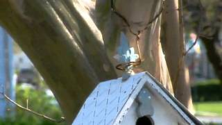 Finch Birds In Our Bird House