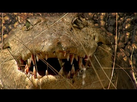 Crocodile lying in wait ... ready to attack | Deadly 60 | Earth Unplugged