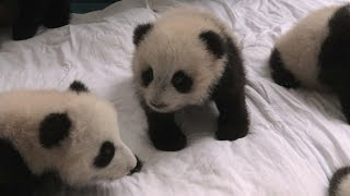 Baby panda nursery - Operation Wild: Series 1 Episode 1 - BBC One