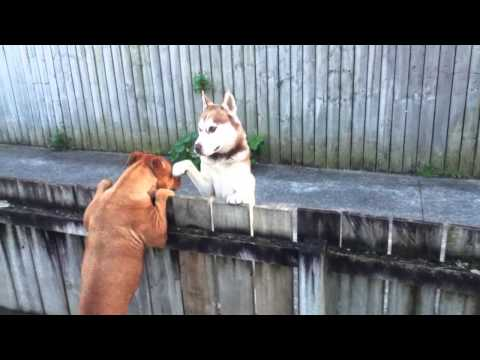 Pitbull Terrier meets Husky (part 2)