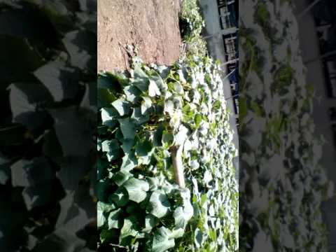 CUCUMBER FARMING. MULTIPLE FOLDS INTEGRATED.